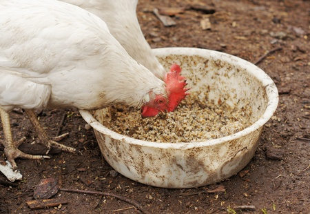 Domestic chickens eat grains Stock Photo - 17239924