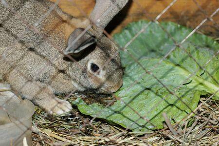 rabbit cage: Coniglio con la foglia di cavolo in una gabbia
