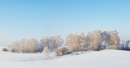 Sunny winter panorama with white trees photo