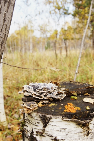 Mushrooms on a birch stump in a forest photo