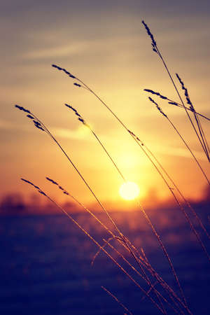 Dry grass against winter sunrise photo