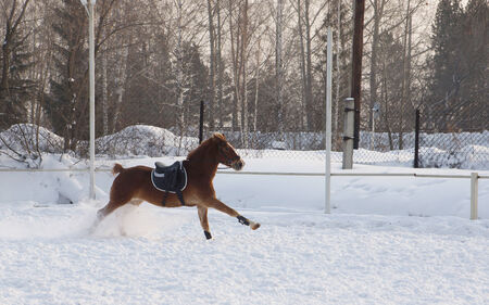 steed: Bay steed runs on a snowy field