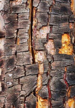 Old cracked bark of birch photo