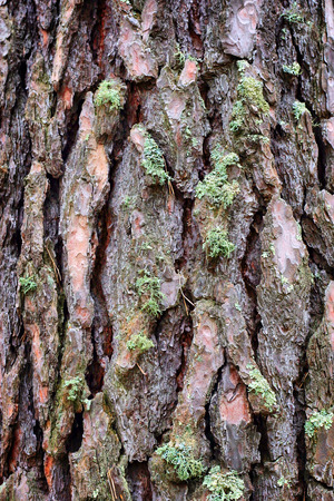 scabrous: Pine bark with moss