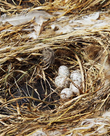 progeny: Sparrow eggs lie in a nest