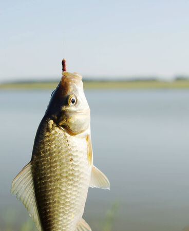 crucian carp: Fishing  Caught fish on a hook