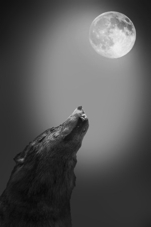 Wolf howls to the moon photo