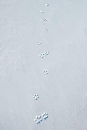 foxy: Foxy footprints on the hard snow Stock Photo