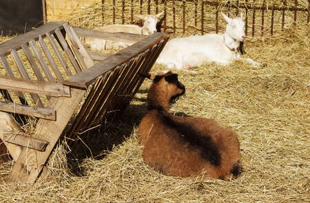 barnyard: Goats lie on hay in the barnyard