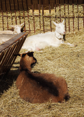 lie: Goats lie on hay in the farmyard