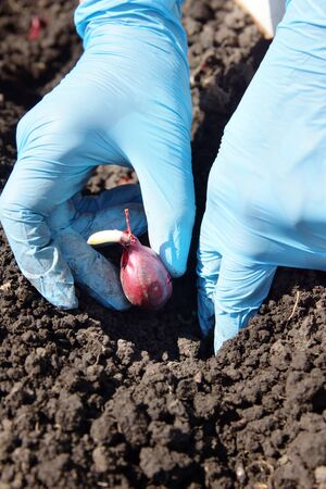 seed bed: Gardener planting onions in the ground