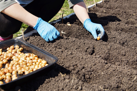 Gardener planting onions in the kitchen garden