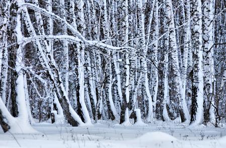 snowbound: Snowbound birch forest in the winter Stock Photo