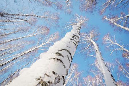 snowbound: Snowbound birch trunks rising to bright blue sky
