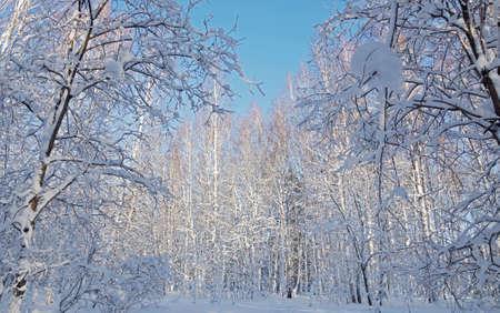 snowbound: Snowbound trees in the winter forest Stock Photo