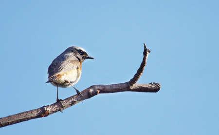 bough: Redstart bird sitting at a bough against blue sky Stock Photo