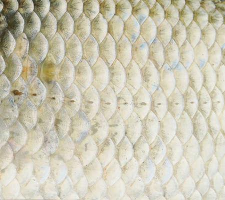 escamas de pez: Close up background of fish scales