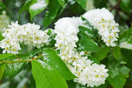 tempest: Branches of a blossoming bird cherry covered with snow in snowstorm Stock Photo