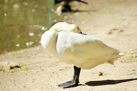White goose stands at a lake shore and hides his head under the wing