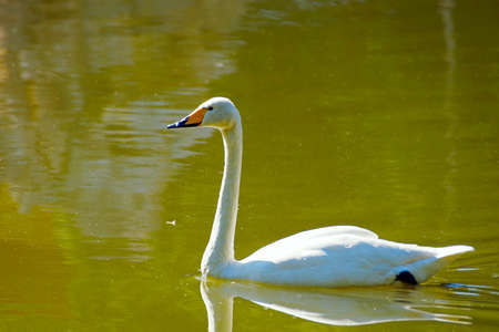 White swan swimming on green water of a lake in back light Stock Photo