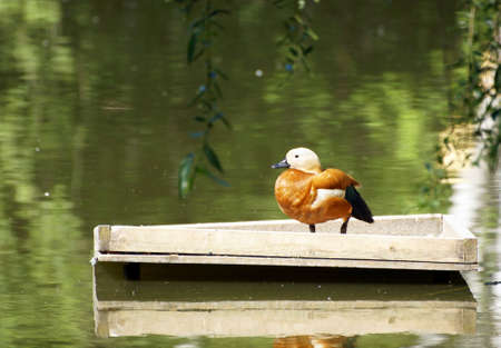 Wild red duck stand on a wooden platform next to lake shore Stock Photo