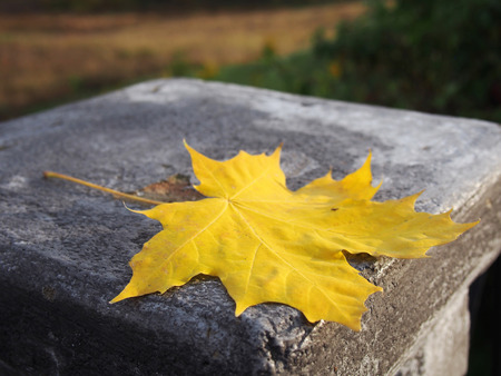 Bright yellow maple leaf lies on a concrete pillar. Symbol of autumn