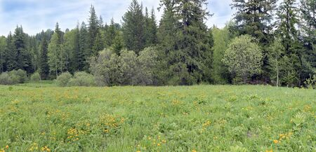Green grassy meadow with beautiful bright orange flowers next to the forest Stock Photo