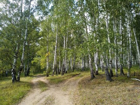 Scenery of a dirt road fork in a birch forest in a sunny summer day