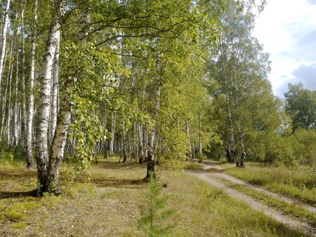 Beautiful landscape with a dirt road at the edge of a birch forest in a sunny summer day