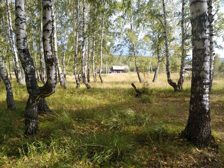 Beautiful landscape at the edge of a birch forest with a country house in a distance