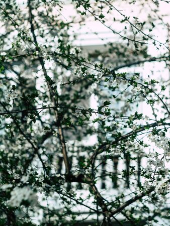 beautyfull flowers of the cherry blossoms on a spring day Фото со стока