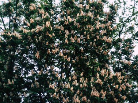 White flowering spring tree in the evening in the park 版權商用圖片