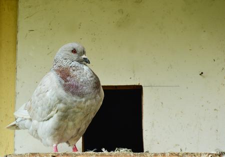 fat bird: racing pigeon Stock Photo
