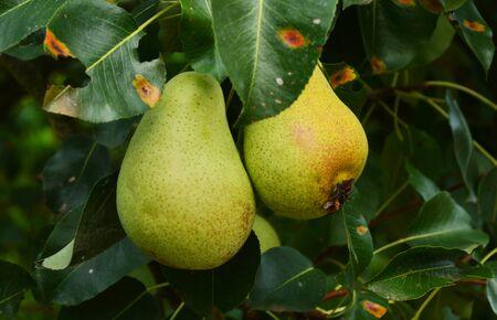 european: European pear