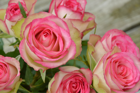 amalgamate: pink and white roses on the wooden table. pink and white flower for a special day