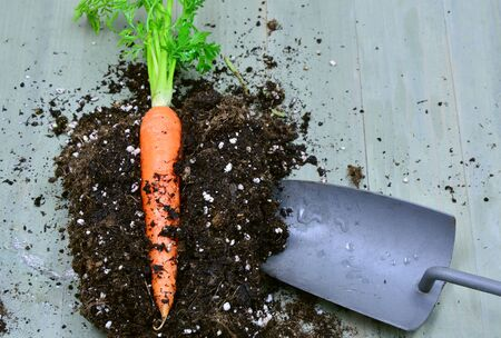 shoveling: fresh carrot with earth and spoon shoveling on the wooden table.