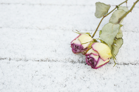 eternal love. snow with dry roses (soft focus, lens blur) Stock Photo