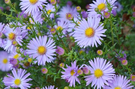violet flower Aster Stock Photo