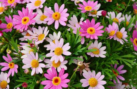 aster: violet flower Aster Stock Photo