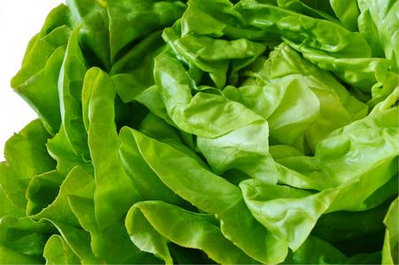 lettuces: Boston lettuces. Health Benefits Of Lettuce. Stock Photo