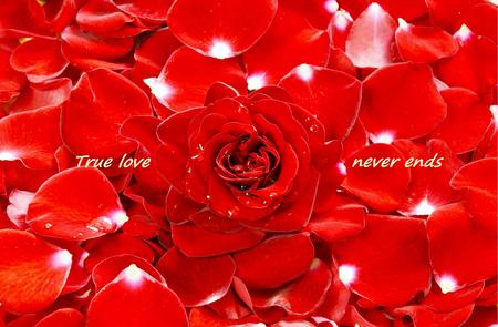 Marco completo rosas rojas y pétalos de rosa. Flor roja con gotas de agua para fondo de pantalla.
