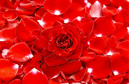 dispersed: Full frame red roses and rose petals. Red flower with water drops for wallpaper.