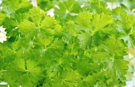 green leafy vegetables: Parsley is Green leafy vegetables useful Stock Photo