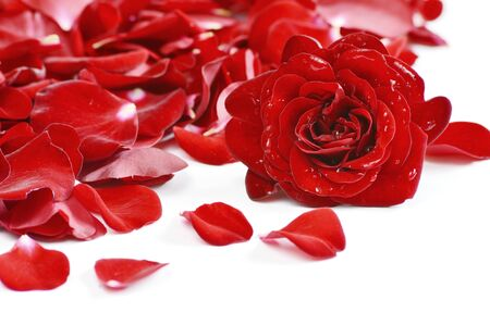 Red rose and rose petals on white background. flower with water drops for wallpaper.