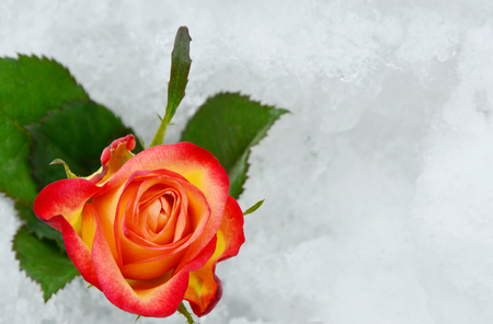 flower on snow in the wintertime.