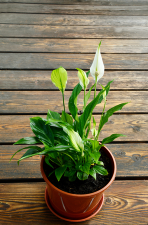 Peace lily in pot on wooden floor background Stock fotó