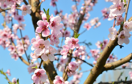 Apricot blossom in Wachau Austria along the Danube river