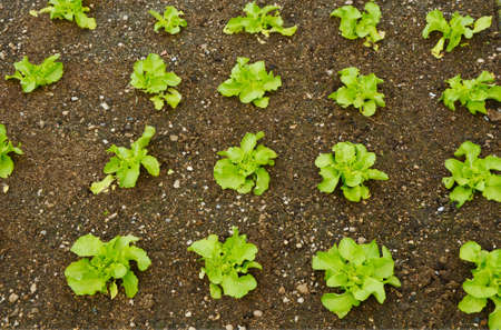 Growing Your Own Butter Lettuce in the garden