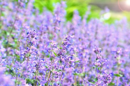 Purple or purple flower in the garden with sun light Reklamní fotografie