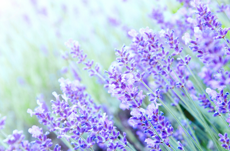 Lavender with lens blur and lens flare for wallpaper Stock Photo